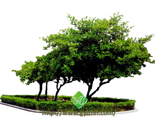 绿化树木的养护管理